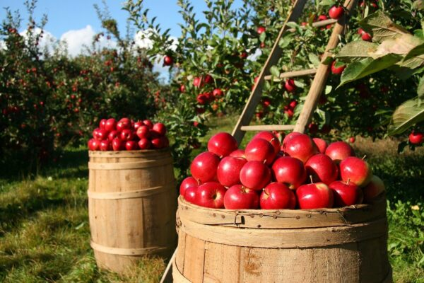 orchard, apple, apples